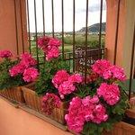 gerani in fiore
