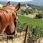 HorseOverlookingNapaValleyVineyards