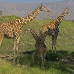 Uncle, Mum and baby giraffe