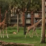 Giraffe on the Savanna. View from dining room.