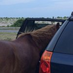 Horse looking for food in car.