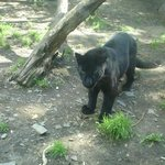 un leopardo melanico