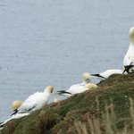 Teenage gannets hanging out