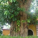 дерево боддхи
