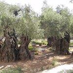 Деревья Оливы