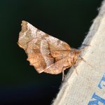 Early Thorn Moth