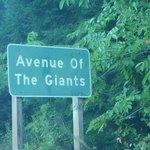 Avenue of the Giants