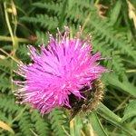 A kind of flower found in Scotland .