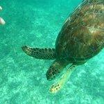 Turtles at Akumal Beach