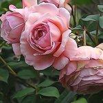 Rose in Martins's garden