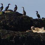 Cormorants and grey seal