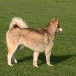 Kieko the husky
