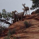 Mouflons à flanc de montagne