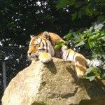 Vlad the Siberian tiger DZP