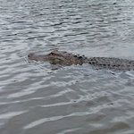 Alligator Swimming @ Cajun Encouners