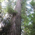 樹齢800年のダグラスファー