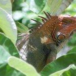 Iguana In Tree Near Pool