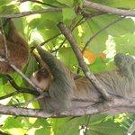 Un paresseux et son petit dans le domaine Tulemar