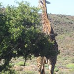Giraffes on our game drive