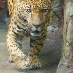Jaguar at Laz Peace Gardens
