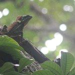 J.C. lizard