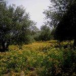 ulivi e iperico in fiore