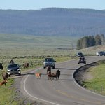 traffic jam Yellowstone style