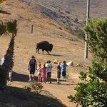 A buffalo roaming behind the lodge!
