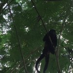 Picture of Howler Monkey taken from Cafe Coyote