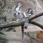 Skansen - closeup to lemurs