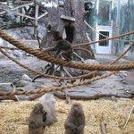 Skansen - closeup with baboons