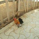 Hairy legged chicken