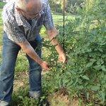 Cuidado de la huerta de Ellauri. Mata de tomates cherry.