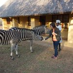 Feeding the cute zebras at our door step.