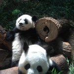 Pandas - mom and cub