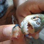My piranha.