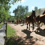 The running of the horses across the facility grounds