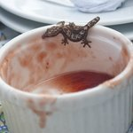 Gecko eating delicious breakfast jelly