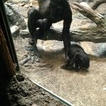 brother teasing baby Bonobo