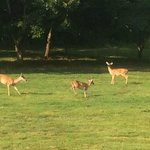 Deer frolicking in the backyard