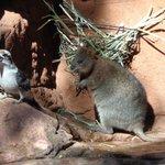 cookaburra and quokka