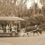 carabao rides