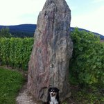 One of the more difficult to find menhirs inside a vineyard. Also, dog.