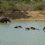 elephant-buffalo-crocodile