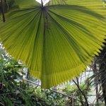 hojas gigantescas