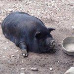 Guiana pig