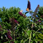 Gorgeous Butterfly Bush at Six Chimneys.