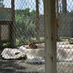 Tiger sunbathing in her pool