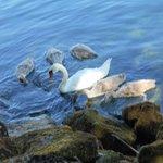 Swans on Lac Leman