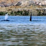 Orcas in Okeover